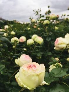 Rose festival at the Palais Royal