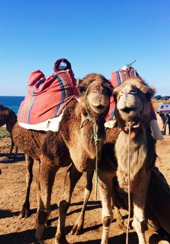 My camel pals